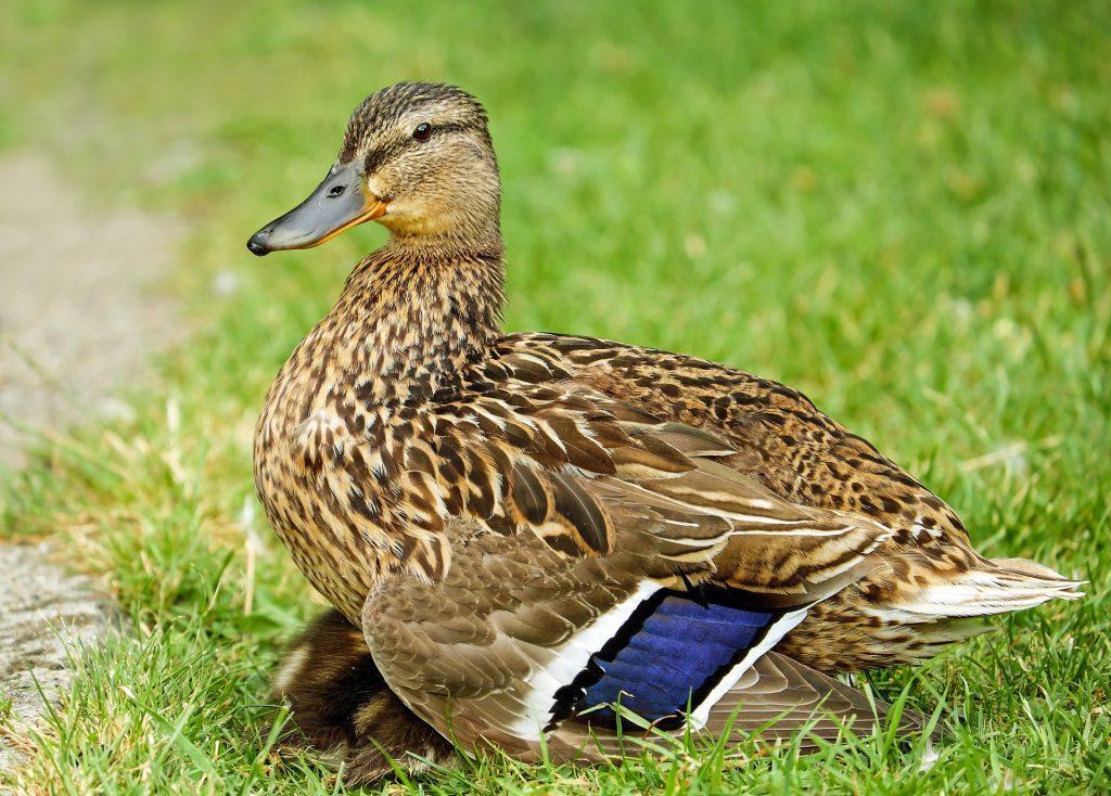 Duck - Nauka angielskiego online