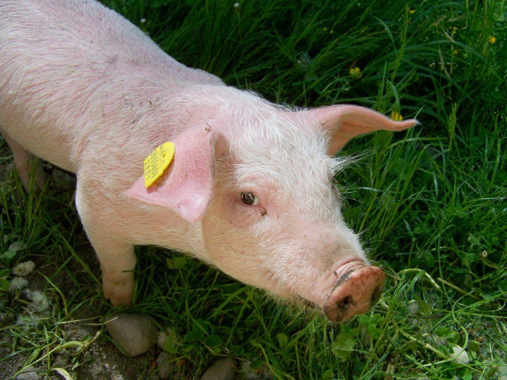 Nauka angielskiego online - Angielski Słówka - Blog o języku angielskim - Pig