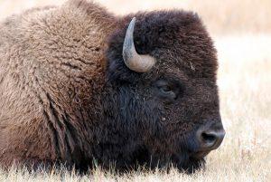 Nauka angielskiego online - Angielski Słówka - Blog o języku angielskim - European bison