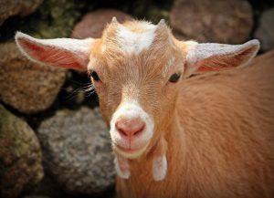 Nauka angielskiego online - Angielski Słówka - Blog o języku angielskim - Goat