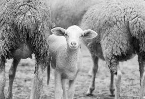 Nauka angielskiego online - Angielski Słówka - Blog o języku angielskim - Lamb